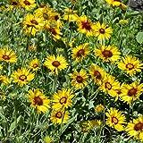 geranien h ngend gro blumig gef llt wei bl hend 6 pflanzen im 12 cm topf garten. Black Bedroom Furniture Sets. Home Design Ideas
