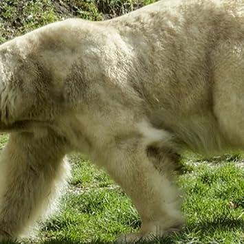 Amazon Com Polar Bear Wallpaper Hd Wallpapers Of Polar Bears
