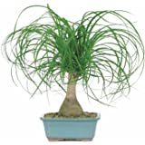 Natures Buggy Ponytail Palm Live Plant