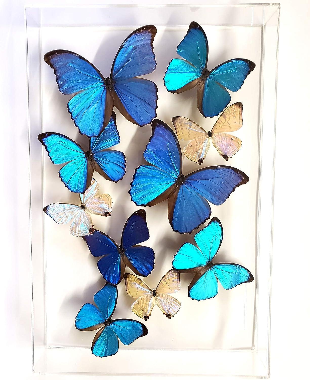 Real 3D Framed Butterflies Acrylic Frame Butterfly Art includes Blue Morpho