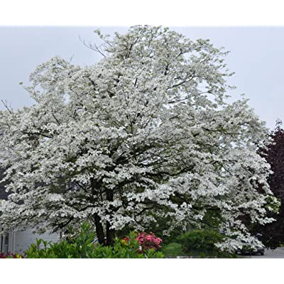 White Flowering Dogwood 10 seeds. trees, seeds : Garden & Outdoor