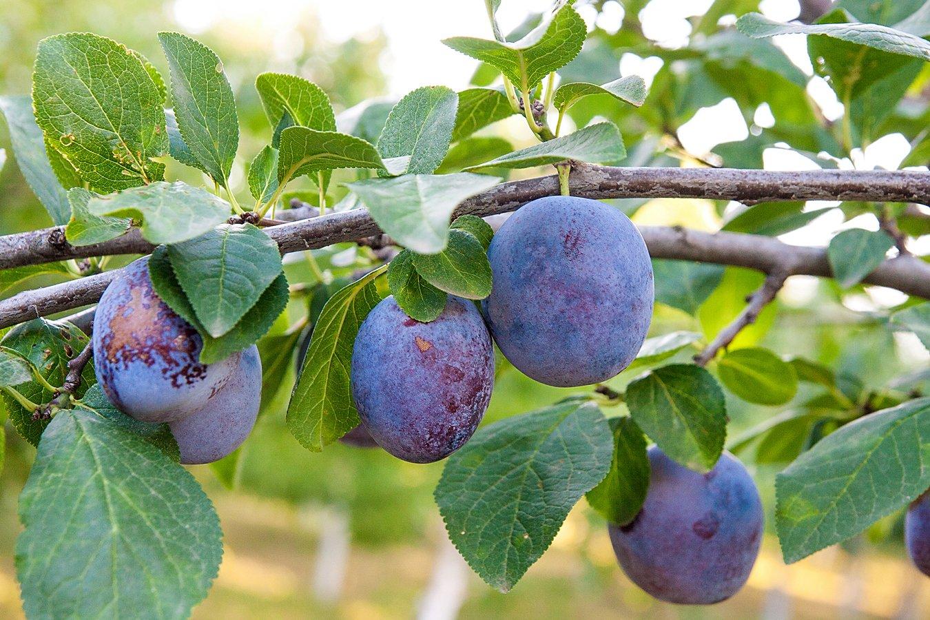 Organic Pitted Prunes, 1 Pound — Dried California Plums, Non-GMO, Kosher, Unsulfured, Unsweetened, Bulk