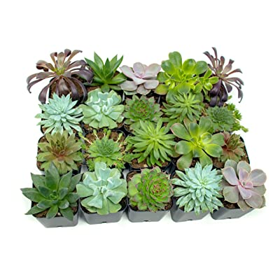 Succulent Plants (20 Pack) Fully Rooted in Succulent Planter Pots with Succulent Soil | Real Live Potted Succulents | Indoor Plants | Unique Live Plants | Cactus Decor Succulent Pots by Aquatic Arts : Garden & Outdoor