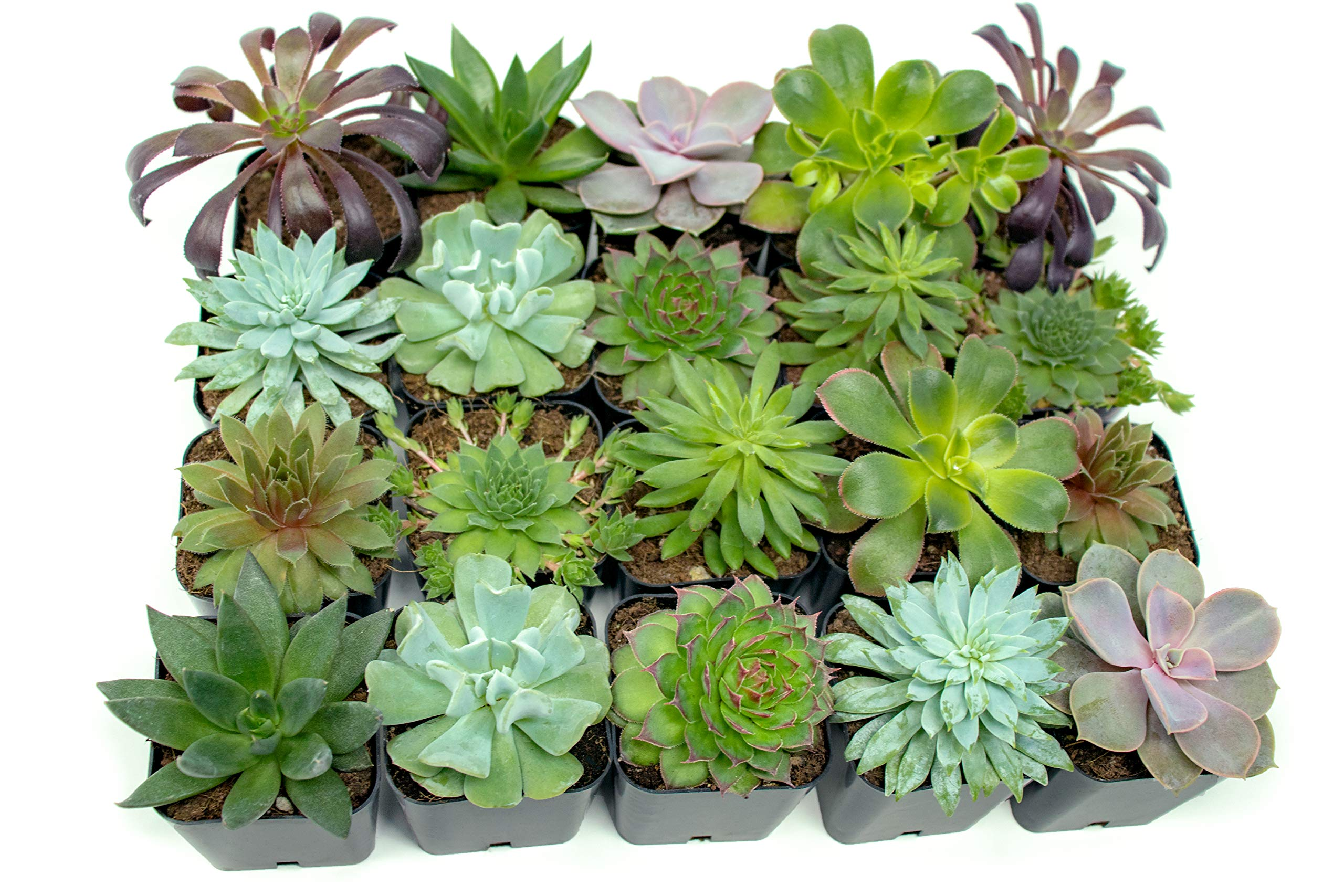 Succulent Plants (20 Pack) Fully Rooted in Planter Pots with Soil | Real Live Potted Succulents / Unique Indoor Cactus Decor by Plants for Pets 10 HAND SELECTED: Every pack of succulents we send is hand-picked. You will receive a unique collection of species that are fully rooted and similar to the product photos. Note that we rotate our nursery stock often, so the exact species we send changes every week. THE EASIEST HOUSE PLANTS: More appealing than artificial plastic or fake faux plants, and care is a cinch. If you think you can't keep houseplants alive, you're wrong; our succulents don't require fertilizer and can be planted in a decorative pot of your choice within seconds. DIY HOME DECOR: The possibilities are only limited by your imagination; display them in a plant holder, a wall mount, a geometric glass vase, or even in a live wreath. Because of their amazingly low care requirements, they can even make the perfect desk centerpiece for your office.