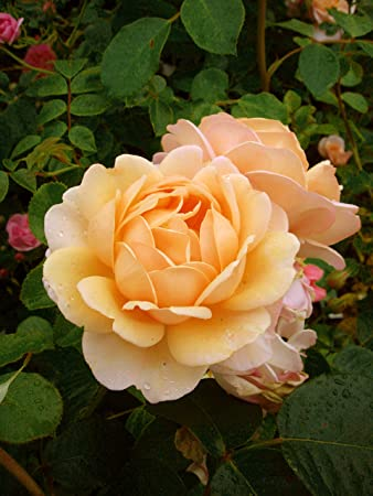 ROSE HAPPY 70TH BIRTHDAY GiftaplantTM 70th BirthdayGifts For Him Or Her