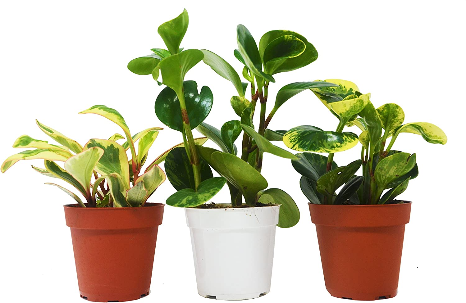 Amazon Com 3 Different Peperomia Plants In 4 Pots Live Plant