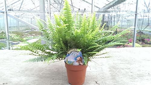 Nephrolepis exaltata 'Green Lady' Fern Plant. Indoor Fern in 12cm pot