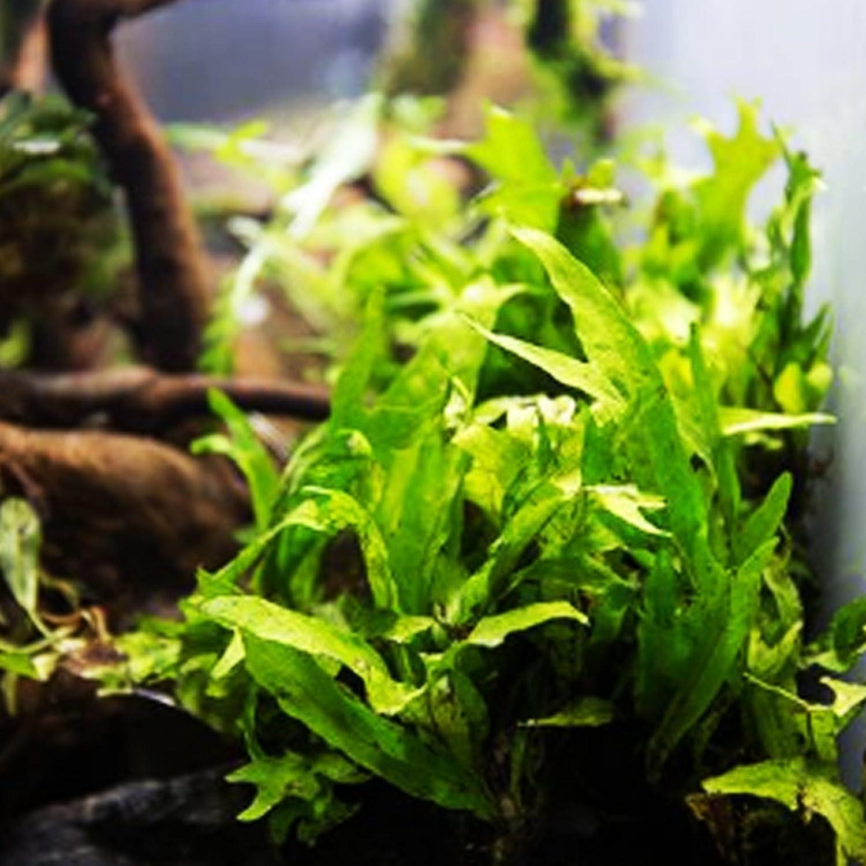 Live Plants Lobelia Cardinalis Freshwater Live Aquarium Plants