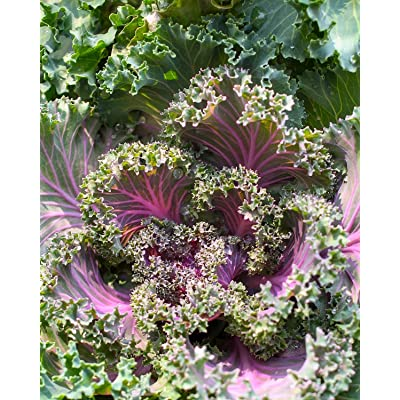 Virgin Seed Supply Red Russian Kale 500 Count Seed Pack Organic Non-GMO Heirloom Variety : Garden & Outdoor