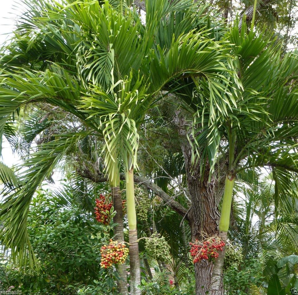 20 plants Adonidia Palm 3, 8,12,20 trees! Veitchia merrillii, Christmas Palm, Great patio by rianiq07