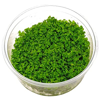 "1 Micranthemum sp. Monte Carlo Tissue Culture Cup 2.5""x2.5"" AB022 : Garden & Outdoor"