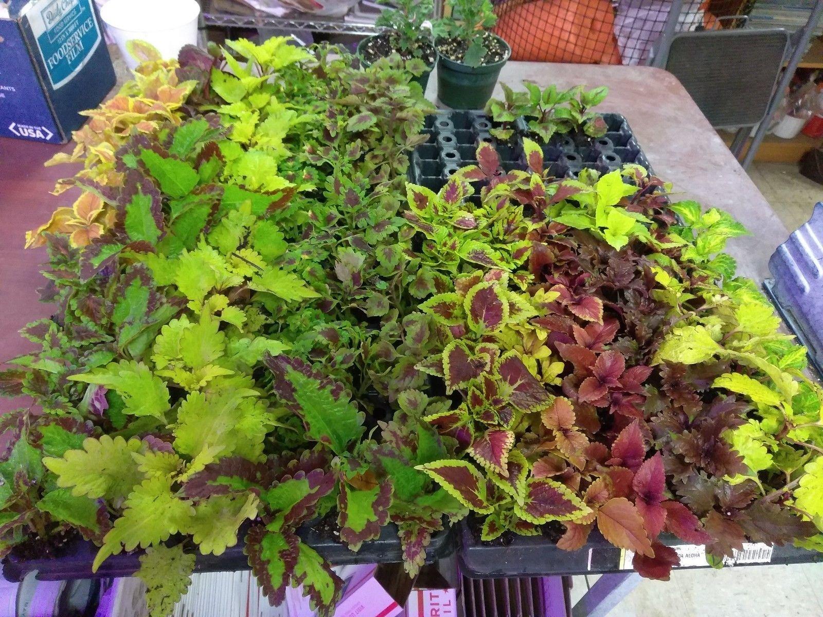 COLEUS - SUN TOLERANT MIXTURE - 50 LIVE PLANTS - PLUGS - SMALL STARTERS
