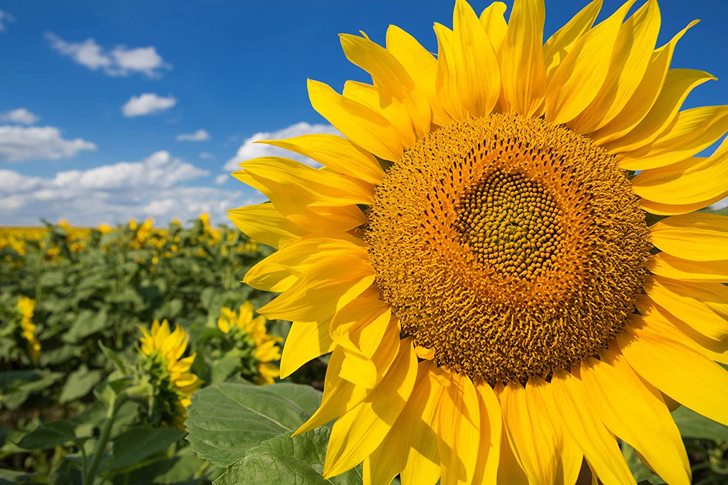 35 Fresh Sunflower Seeds Helianthus Giant BEST QYALITY NON-GMO