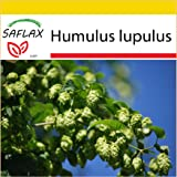 SAFLAX - Set per la coltivazione - Luppolo - 50 semi - Humulus lupulus