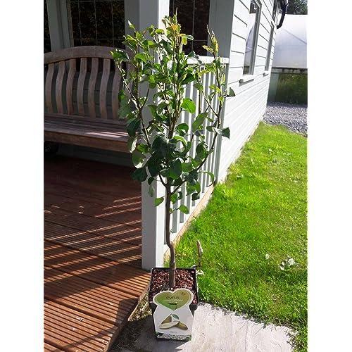 Dwarf Patio Conference Pear Tree, In A 5L Pot, Miniature U0026 Self Fertile