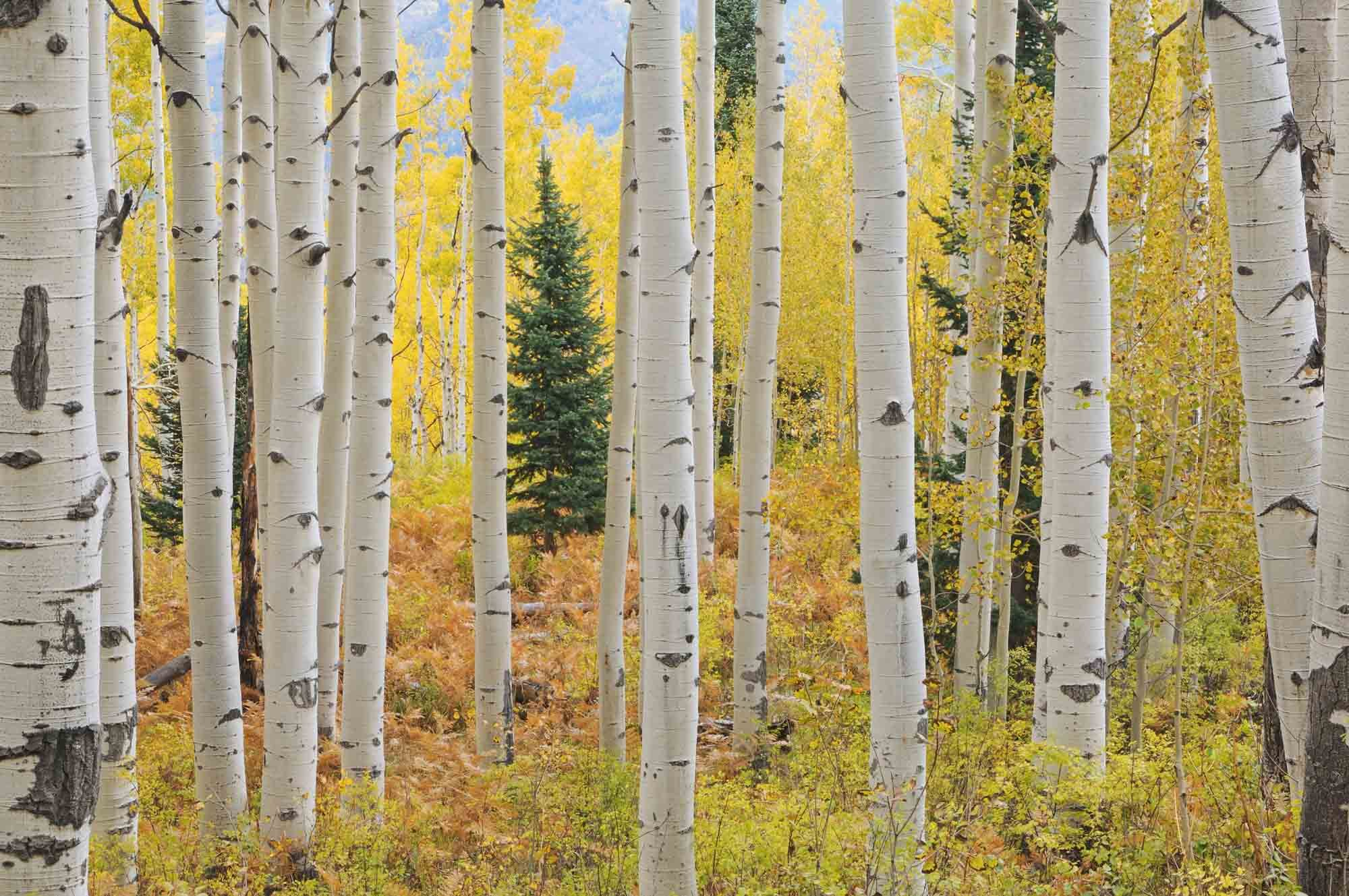 13.5-Feet wide by 9-Feet high.Prepasted robust wallpaper full wall size mural from a photo of: Aspen Forest Trees Elk Mountains. Easy to install remove and reuse. If you do as in our video by Muralunique (Image #1)