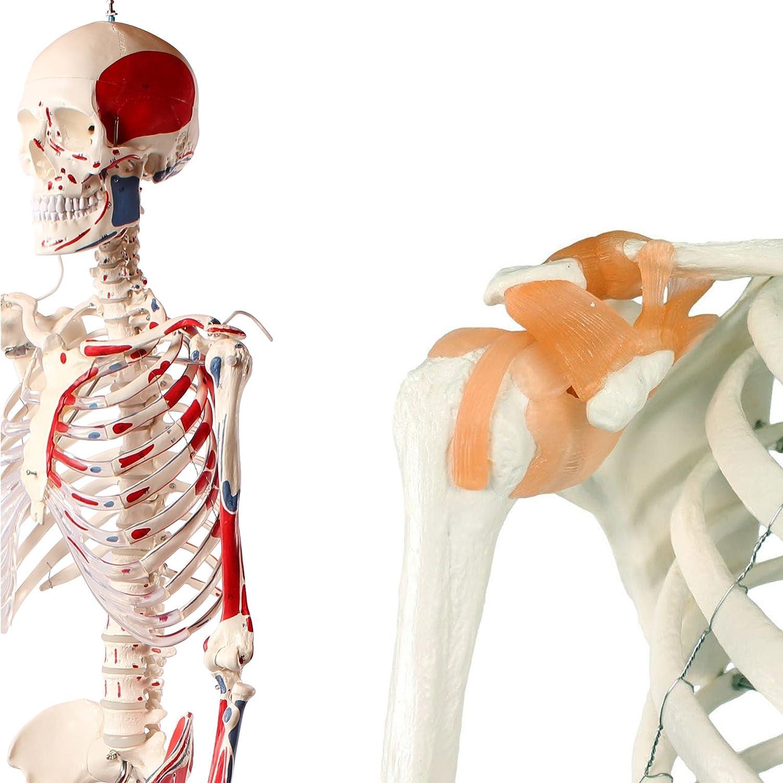 Cranstein A-125 Muskel Skelett-Modell lebensgroß 180cm mit ...