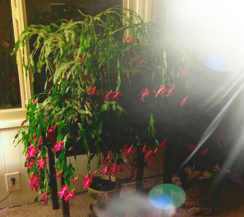 Amazon.com  4 Root Plant Buy 2 get1 Free Christmas Cactus