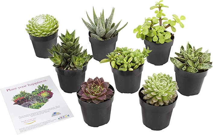 Amazon Com Altman Plants Assorted Live Succulents Windowsill