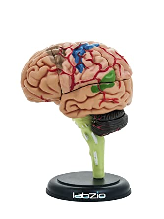 Labzio By Eisco 4d Human Brain Model Mini 10 Cm Tall Dissects