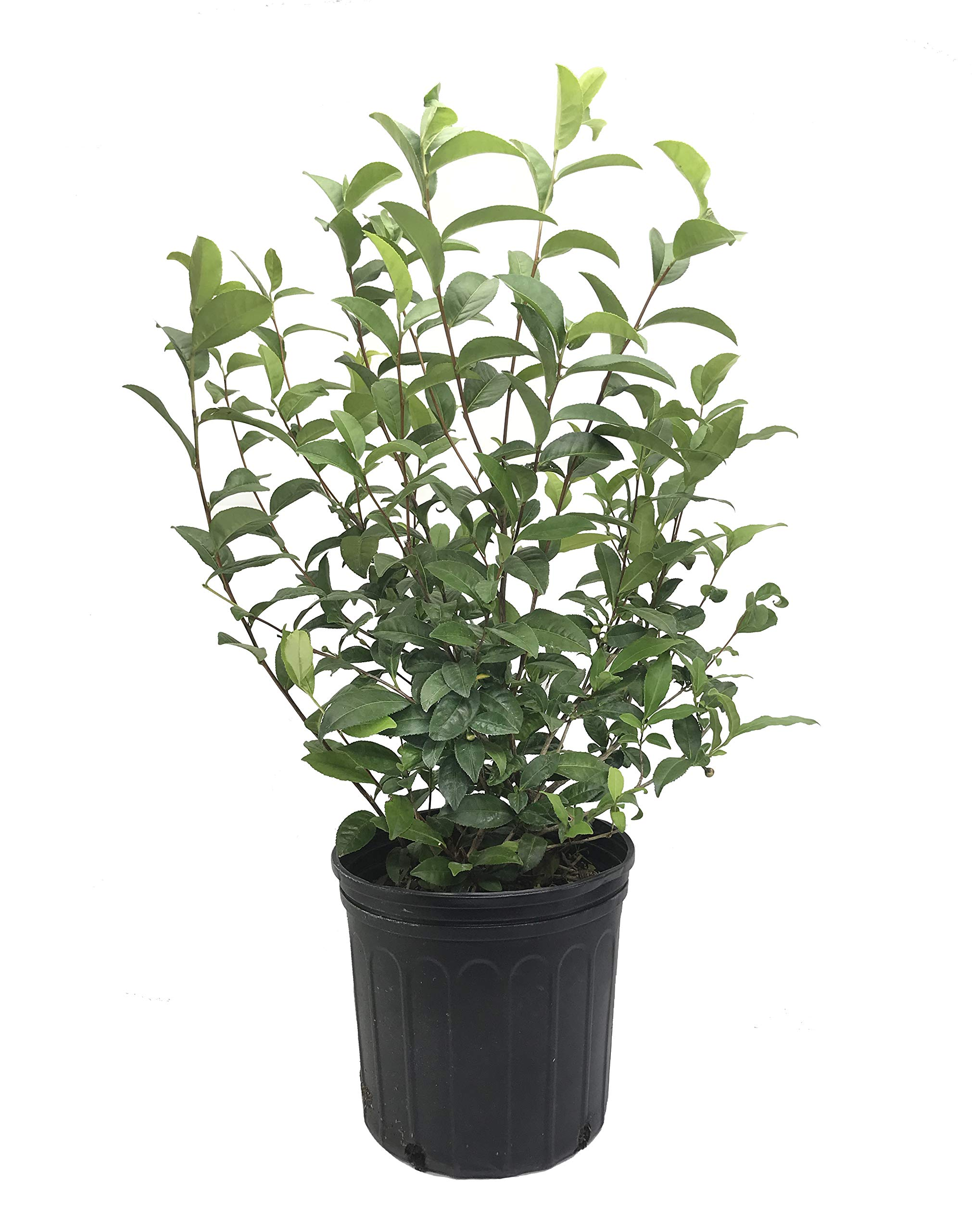 Camellia Sinensis - 10 Inch Container - Very Large & Beautiful Live Tea Plant - Brew Your Own Black, White, Green & Oolong Tea