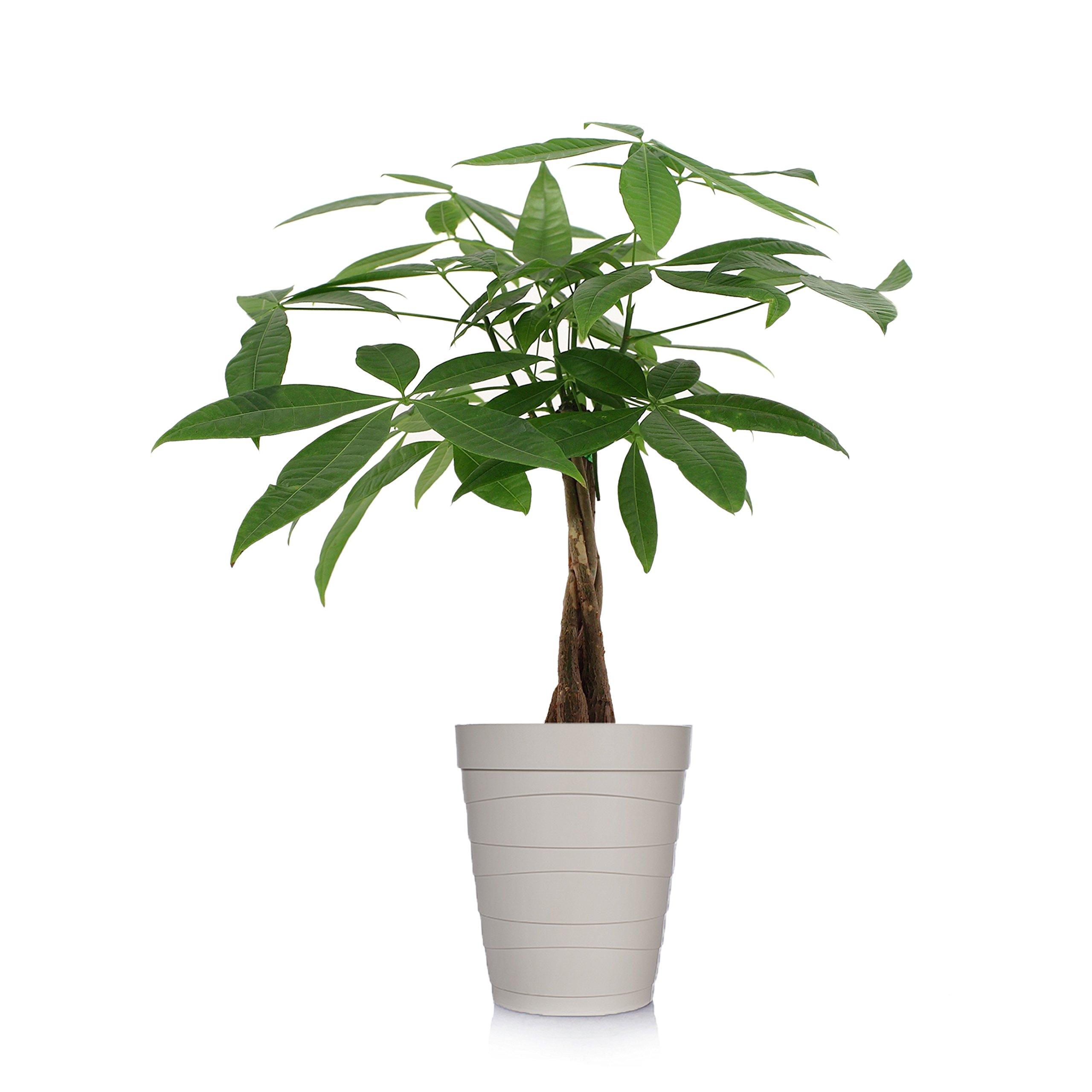 Just Add Ice 401127 Money Tree Ocean Breeze Plant, 5'' in Diameter, Beige