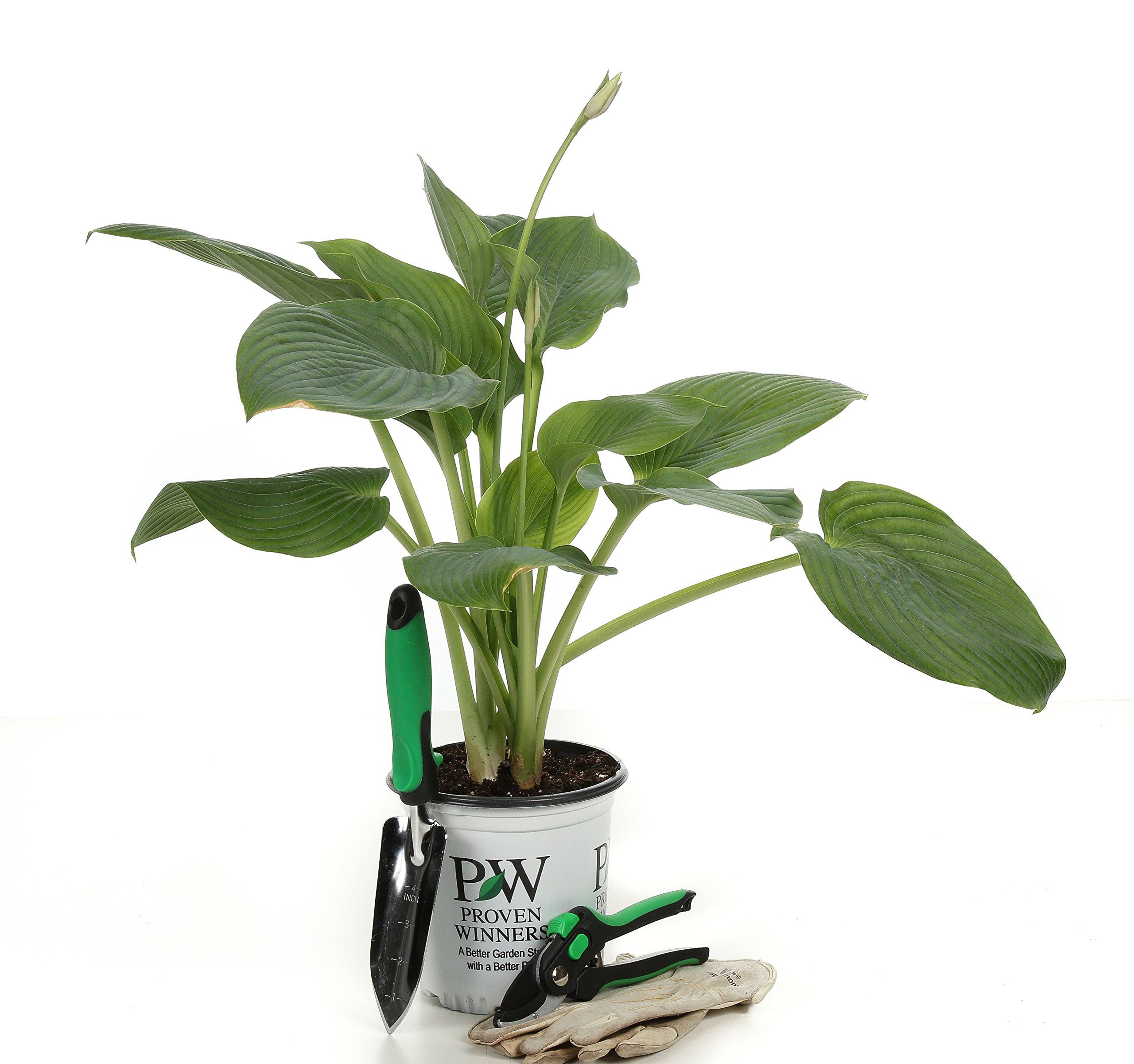Shadowland Empress Wu (Hosta) Live Plant, Green Foliage, 0.65 Gallon by Proven Winners (Image #8)
