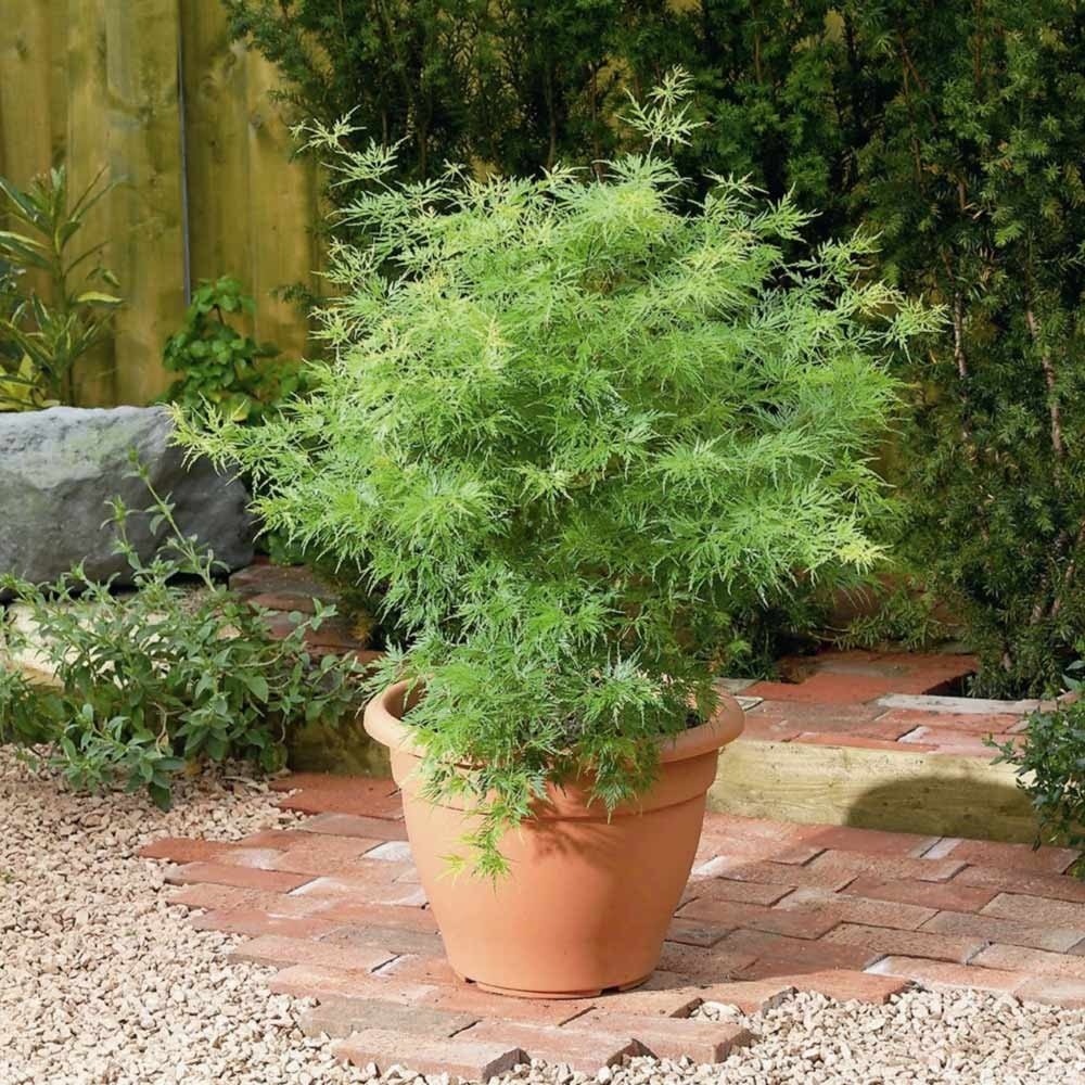 Upright Green Laceleaf 'Seiryu' Japanese Maple 3 - Year Live Plant by Japanese Maples and Evergreens