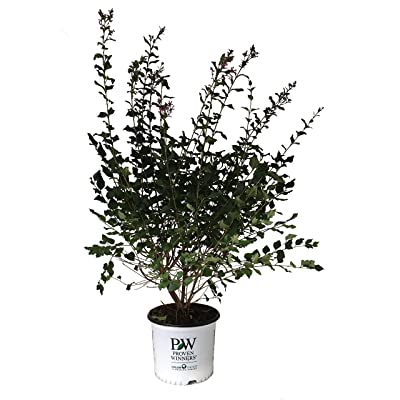 Proven Winners Bloomerang Lilac - Syringa X Bloomerang Dark Purple - 3 Gallon: Garden & Outdoor