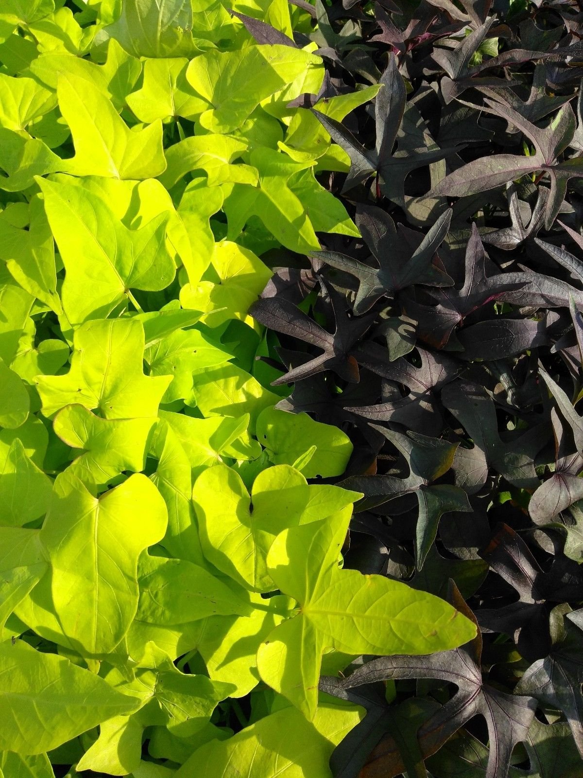 IPOMOEA SWEET POTATO VINE - BLACKIE Margarite mix - 30 PLANTS - STARTERS by joescrazyplants