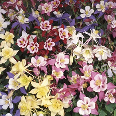 Outsidepride Columbine Flower Seed Plant Mix - 1000 Seeds: Garden & Outdoor