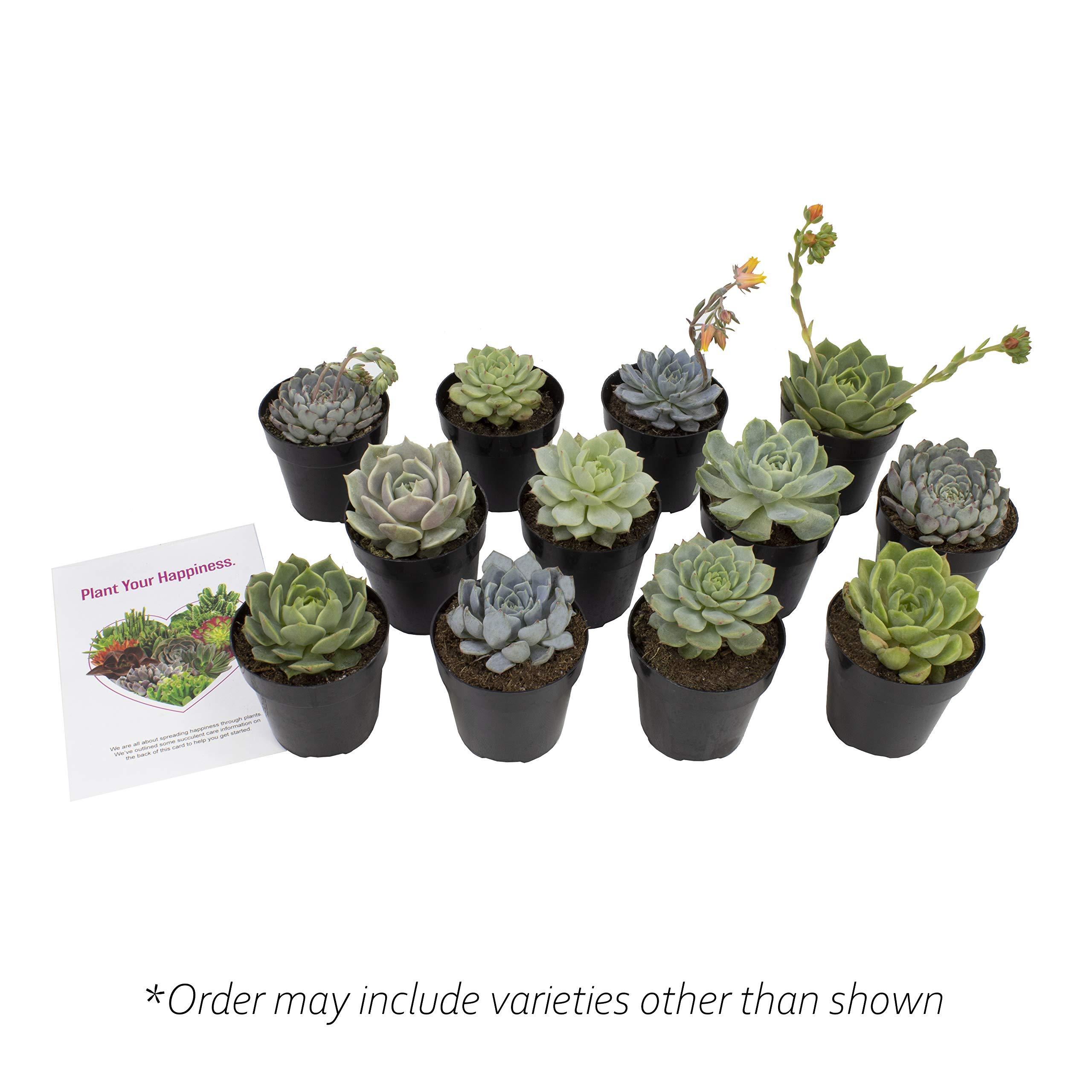 Altman Plants Assorted Live mini Wedding Succulents Flowering Echeveria Rosettes party favors, arrangements, 2.5'', 12 Pack