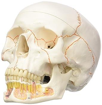 3B Scientific Menschliche Anatomie - A22 Klassik-Schädel mit ...