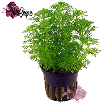 Limnophila Sessiliflora Ambulia -Planta Plantado Acuario
