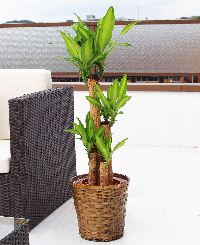 花職人厳選 観葉植物 幸福の木 8寸 B07K3ZNCN8 観葉植物 幸福の木 8寸