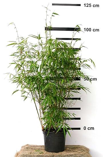 Bambus Fargesia Rufa Winterhart Horstig Und Schnell Wachsend Ideal