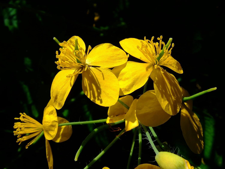 Asklepios-seeds® - 5000 Semillas de Chelidonium majus Celidonia Mayor, Golondrina, Cedueña, celdueña, celedonia, celedonio, celidonia, celidonia mayor