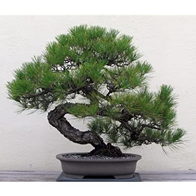 Japanese Black Pine 25 Seed - Bonsai: Toys & Games