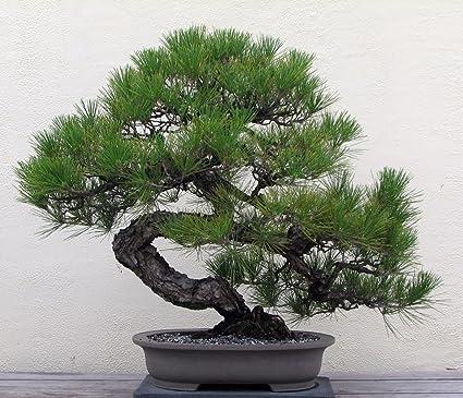 Mature japanese black pine bonsai