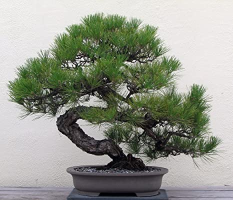 Japanese Black Pine 25 Seed Bonsai