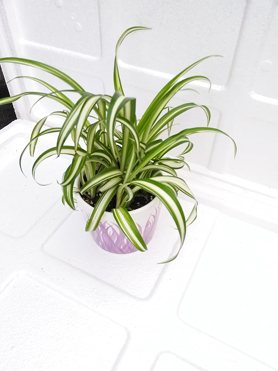 "Mothers Gift - Ocean Spider Plant - Easy to Grow - Cleans The Air - New - 4"" Ceramic Pot"