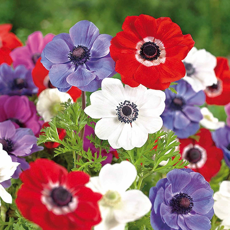 Humphreys Garden Anemone De Caen x 100 Bulbs Size 3//4