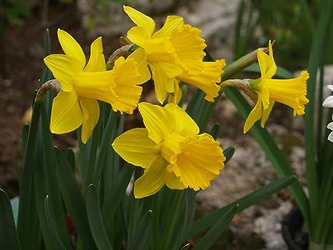 Fiori Gialli Immagini.Floriana Collection 100 Bulbi Da Fiore Di Narcisi A Prevalenti