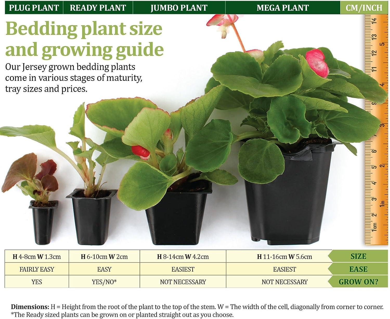 JPD Plants Begonia Destiny Bedding Plants 170