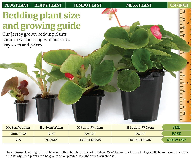 JPD Plants Pansy Strawberry Rose (12 Mega) Jersey Plants Direct