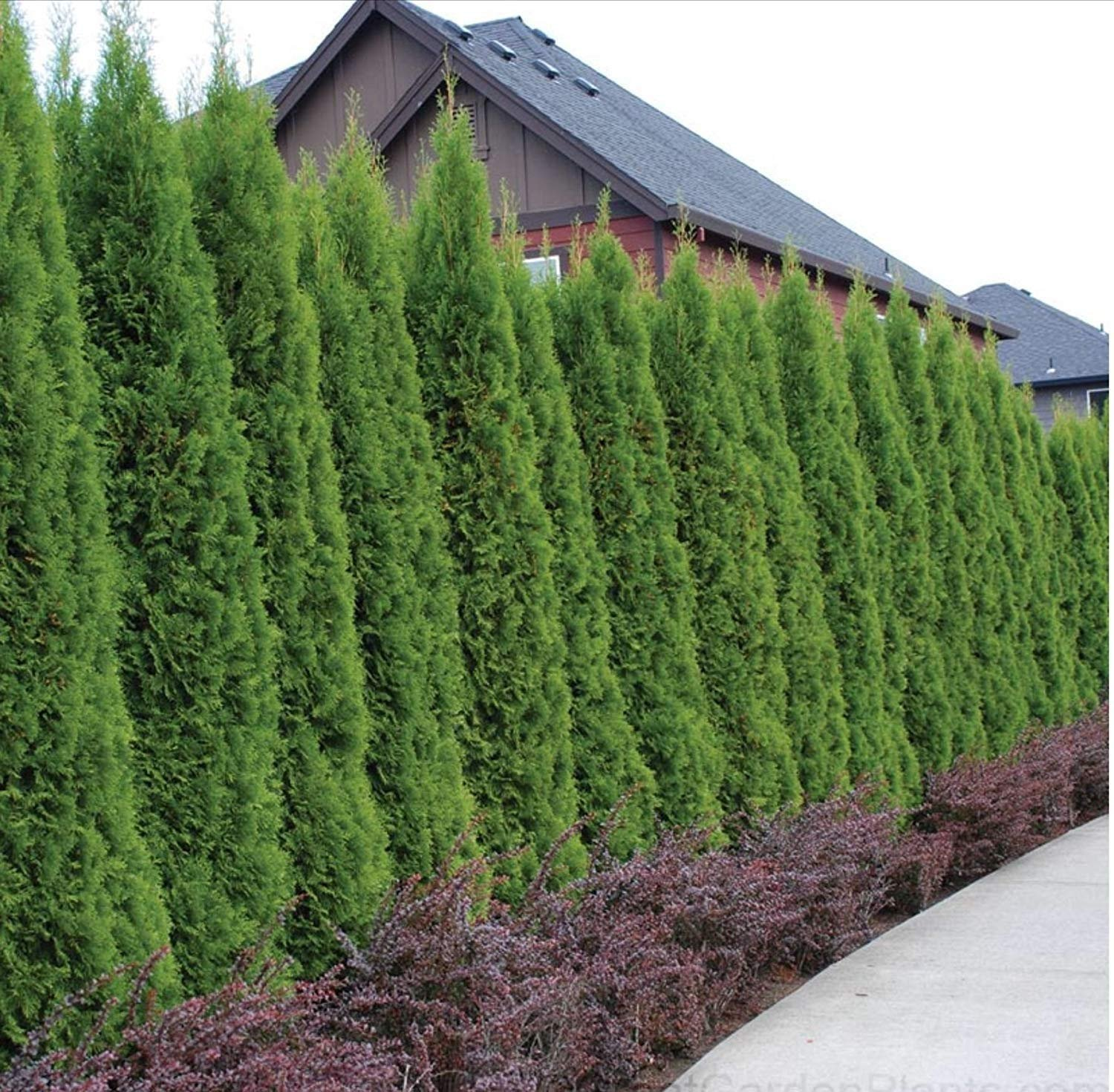 Thuja Emerald Green Arborvitae - 60 Live Plants - 2'' Pot Size - Evergreen Privacy Tree by Florida Foliage (Image #6)