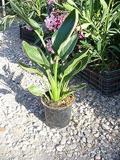 Bird of Paradise Flower Strelitzia Reginae in Pot 105-110 cm