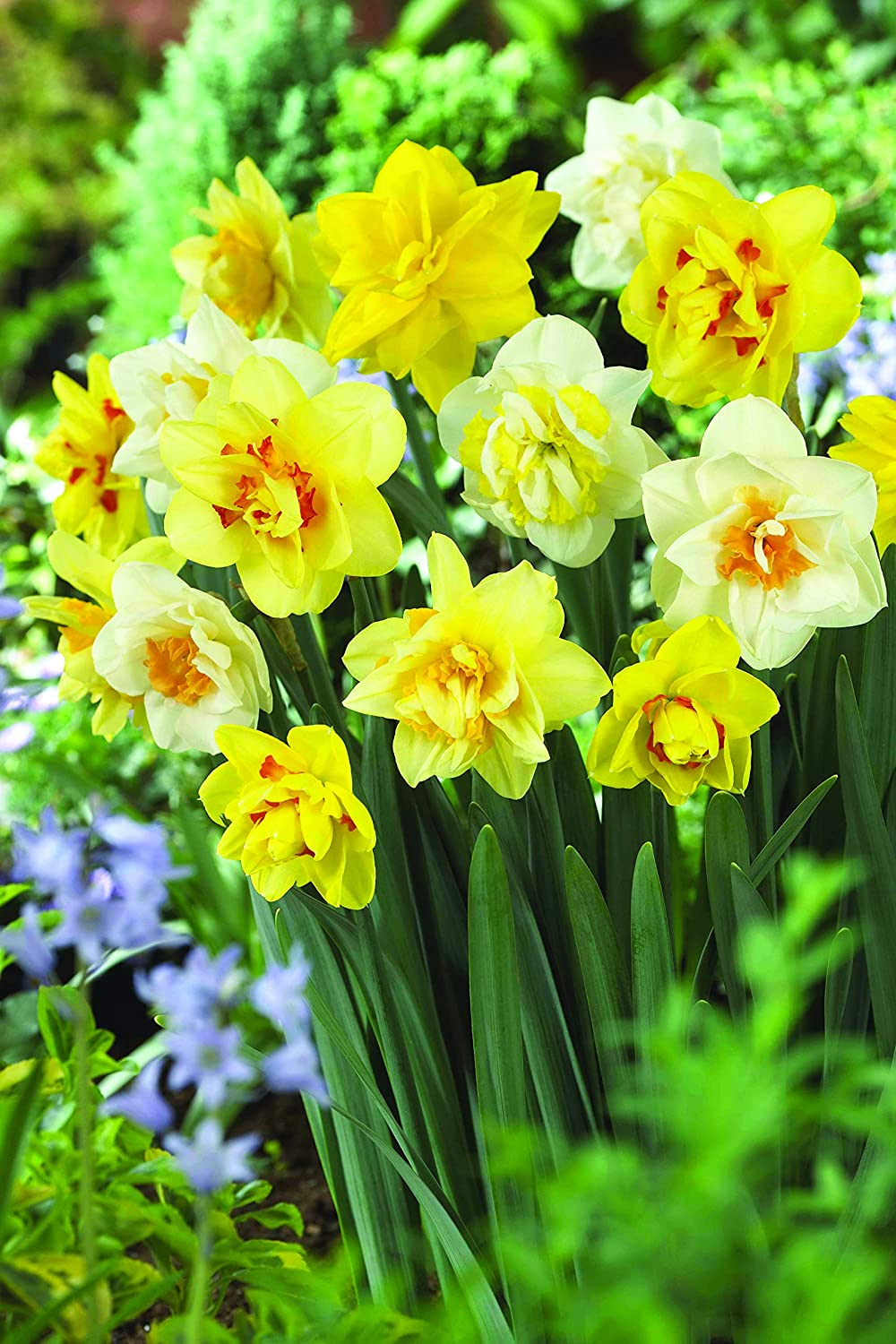 Burpee's 100 Days Daffodil - 25 Large Flower Bulbs | Yellow, Gold, and White V13408