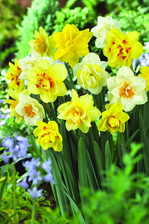 Amazon burpees 100 days daffodil 25 large flower bulbs burpees 100 days daffodil 25 large flower bulbs yellow gold and white mightylinksfo
