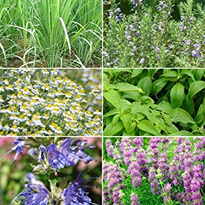Herbal Tea Garden Seed Collection - 6 Varieties of Rare Herb Seeds Ideal for Tea! FROZEN SEED CAPSULES - The Very Best in Long-Term Seed Storage - Plant Seeds Now or Save Seeds for Years